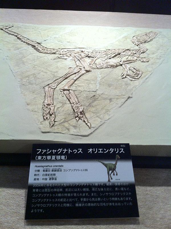 ファシャグナトゥスオリエンタリス(東方華夏顎竜)